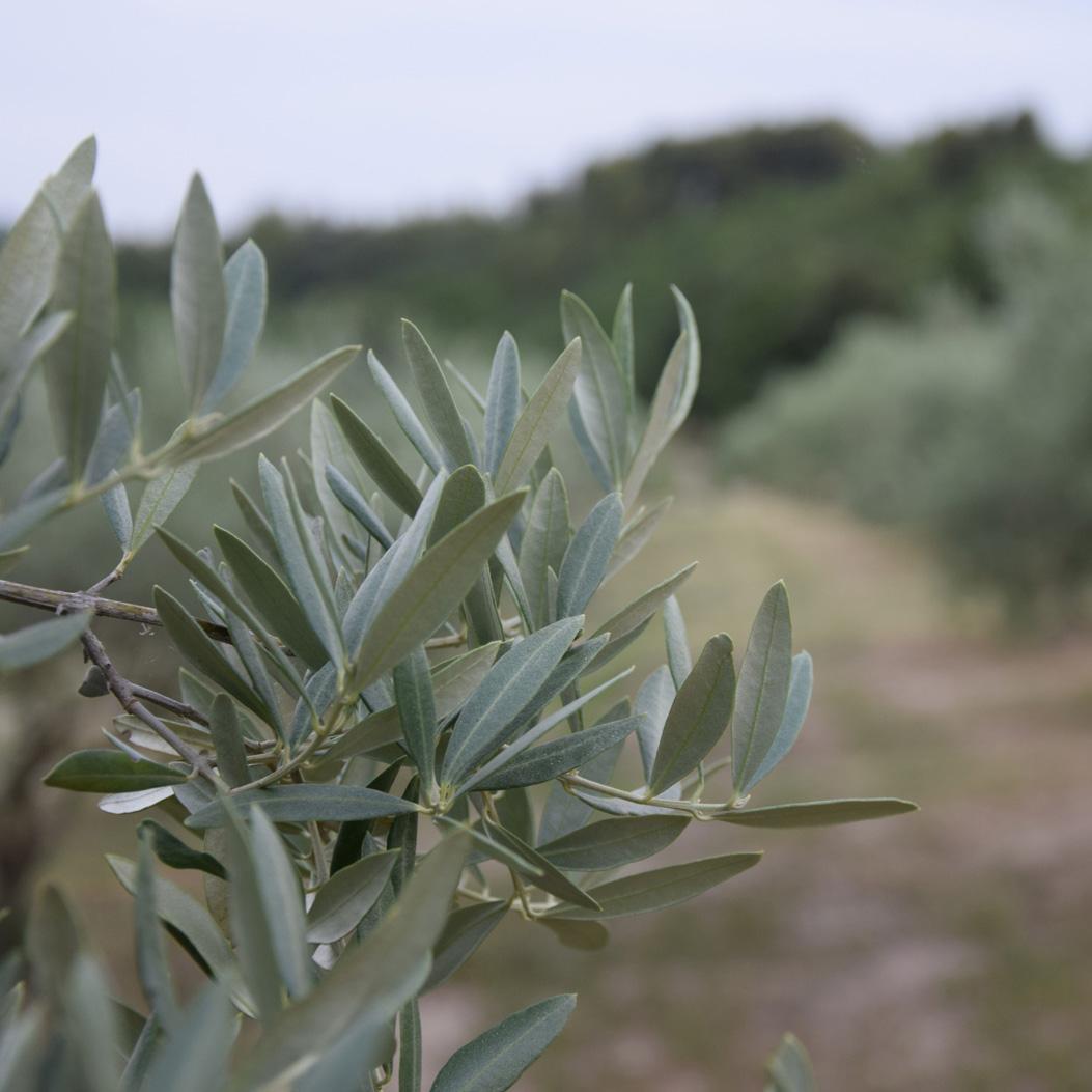olivier2-carre
